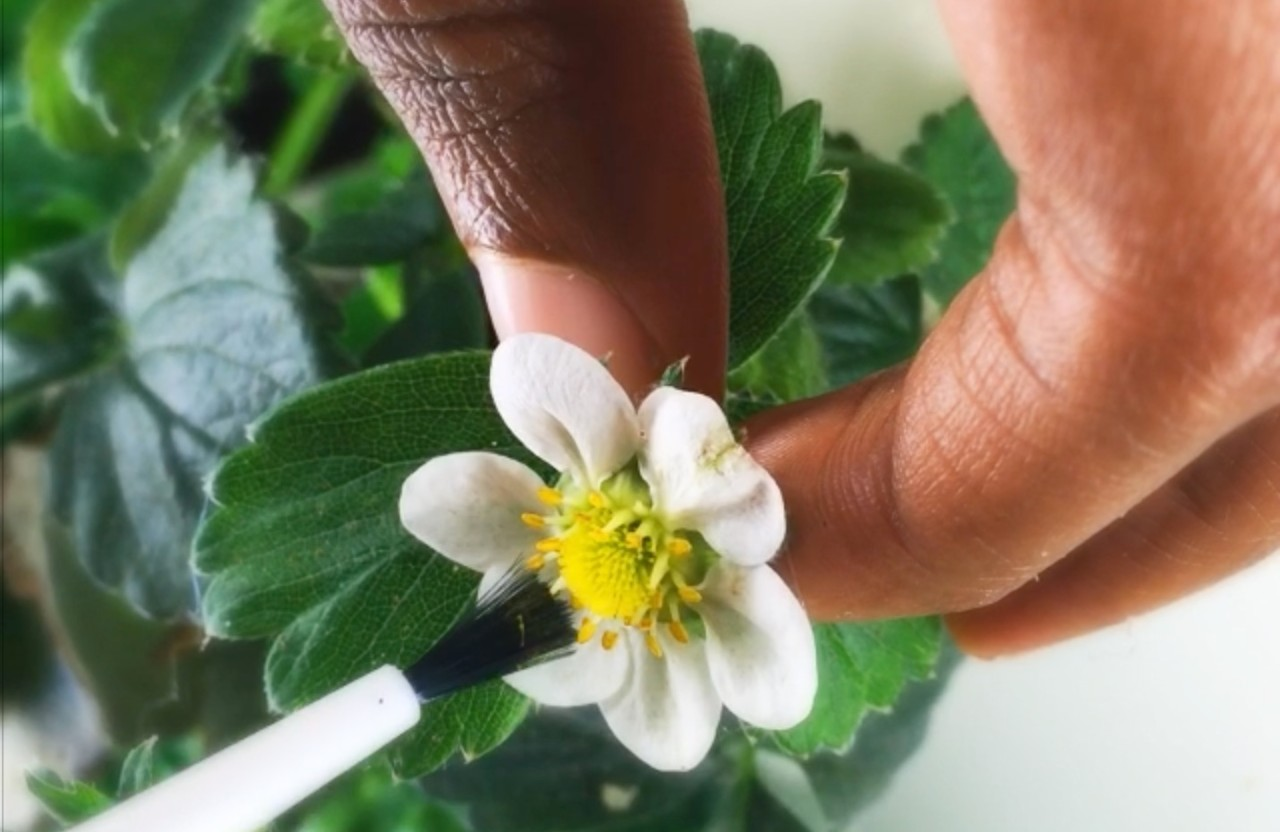 strawberry hand pollination